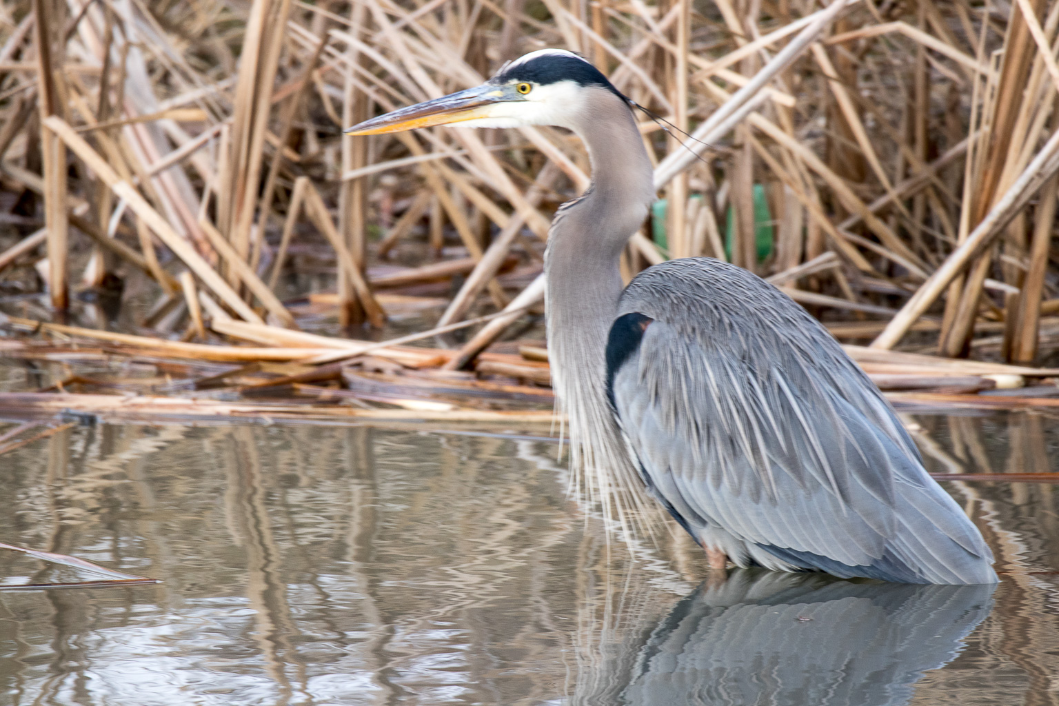 nature photography of heron in a pond by Dan Hyde